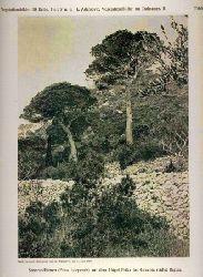 Adamovic,L.  Vegetationsbilder aus Dalmatien  II.