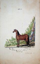 RIDINGER, Johann Elias (1698-1767):  Equus. Das Pferd. Le Cheval. Etc. Familia I. Einhufige [Rotbrauner Hengs, Brown Stallion]