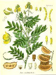 Cassia acutifolia Delile (Leguminosae). Senneskassie.