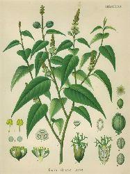 Croton Eluteria Bennet (Euphorbiaceae). Kaskarille, Croton, Schakarille. Chromolithographie aus H. Koehler: