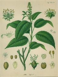 Croton Tiglium L. (Euphorbiaceae). Purgir-Kroton. Chromolithographie aus H. Koehler: