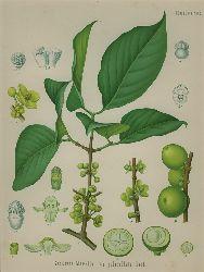 Garcinia Morella var pedicellata Hanb. (Clusiaceae). Gummiguttbaum.