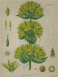Gentiana lutea L. (Gentianaceae). Gelber oder edler, gebräuchlicher, gemeiner, grosser Enzian, Bitterwurz.