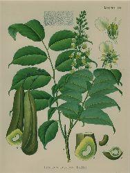 Toluifera Pereirae Baillon (Leguminosae). Perubalsambaum.