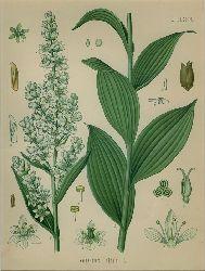 Veratrum album L. (Liliaceae). Weisse Niesswurzel, Weisser Germer.