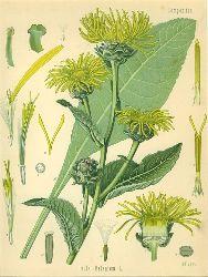 Inula Helenium L. (Compositae). Alant oder Helenenkraut, Glockenwurzel, Grosser Heinrich.