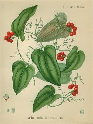 Smilax medica Schlecht. et Cham. (Liliaceae (Smilaceae). Sarsaparille.