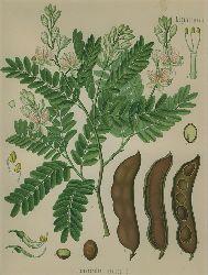 Tamarindus indica L. (Leguminosae). Tamarinde.