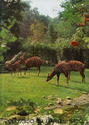 Zoo Basel  Zooführer (Bongos)