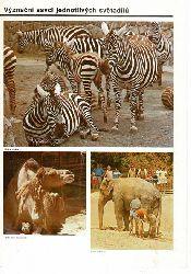 Zoo Prag, Tschechien  Tierbilder- Faltblatt (vorn: Zebras, Kamel, Elefant)