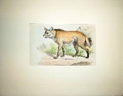 """Anonym  Farblithographie """"De Wolf van Brazilie"""" [Der Wildhund (Mähnenwolf)]. Hinter Passepartout."""