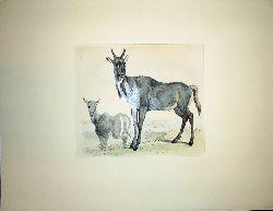 "Anonym  Farblithographie ""De Nijlghau"" [Die Antilope]. Hinter Passepartout."