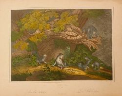 Wildkatzen.-:  Les chats sauvages. The wild cato. Die Wildkatzen. Kol. Lithographie von Fr. Wentzel, Wissembourg nach Ridinger durch Ch. Westermann, um 1860. 24,5 x 34,5 cm.